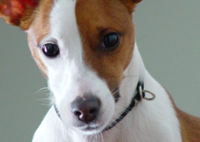 jack-russell-5