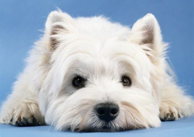 west-highland-west-terrier-1