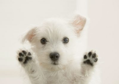 west-highland-west-terrier-3