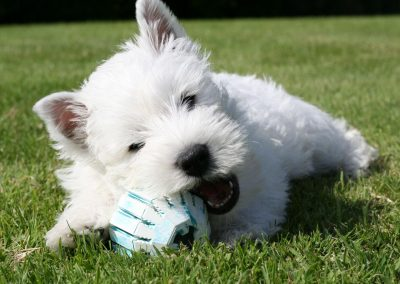 west-highland-west-terrier-4